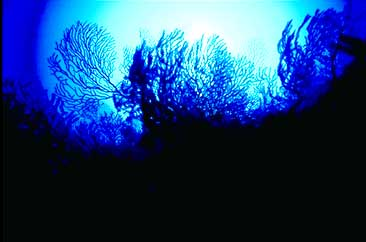 Deep Water Gorgonians